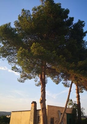 Poda de árboles Alicante