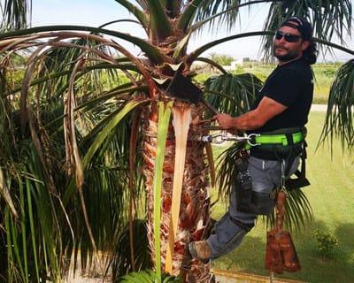 Poda de palmeras con espuelas