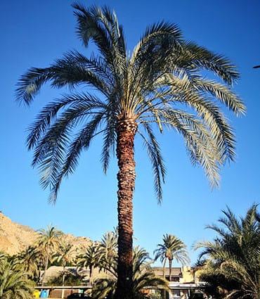 Poda de palmeras Castellón