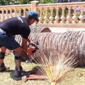 Felling of palm trees