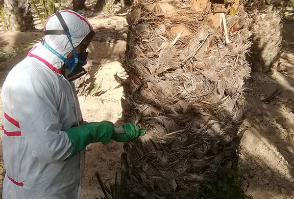 Red weevil injection treatment