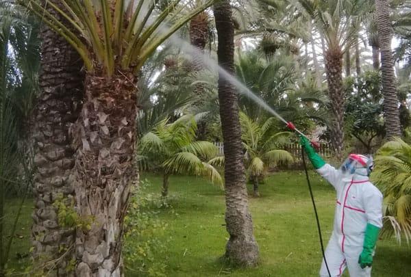 Red gun weevil treatment