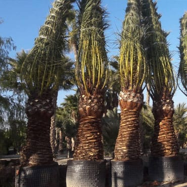 Venta de palmeras canariensis