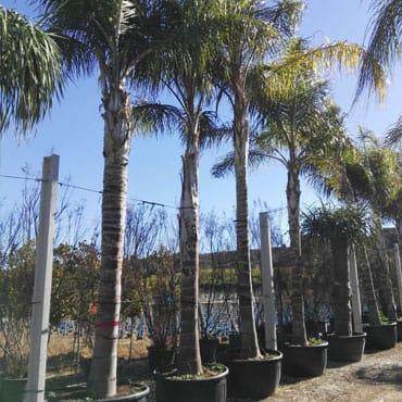 Venta de palmeras cocoteras