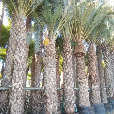 Venta de palmeras datileras