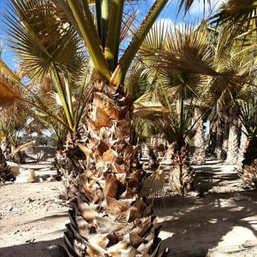Venta de palmeras Washingtonia