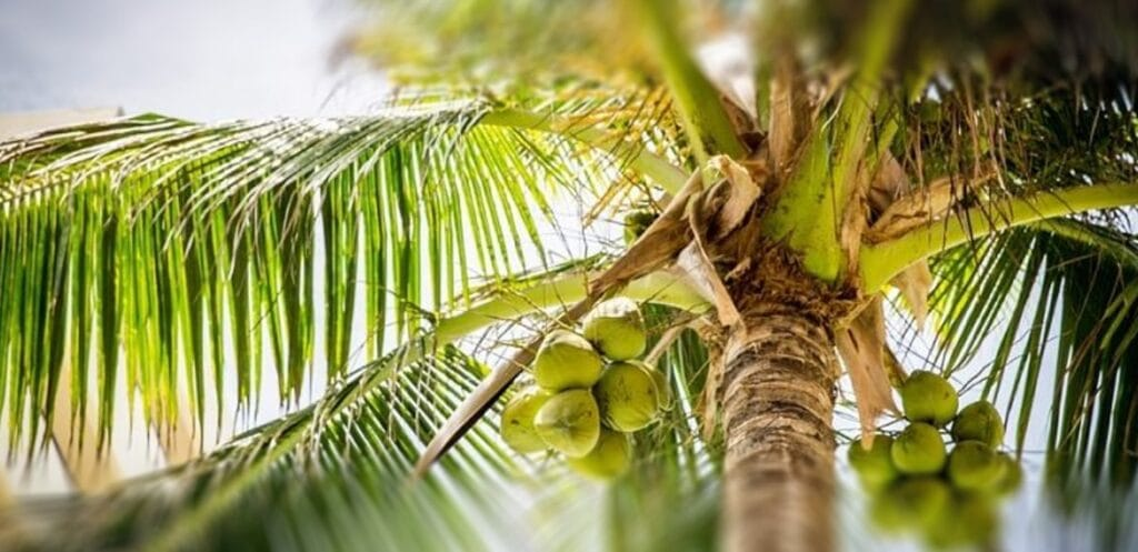 What are the different types of palm trees
