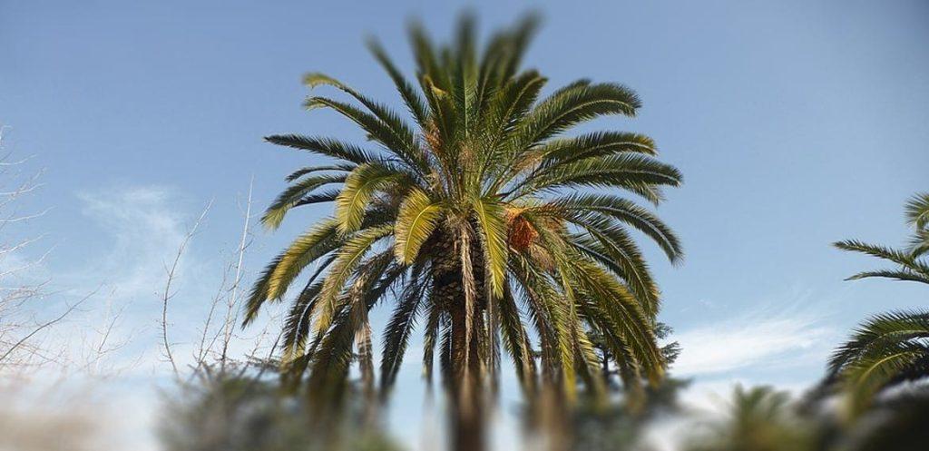 PALMERA CANARIA (PHOENIX CANARIENSIS)