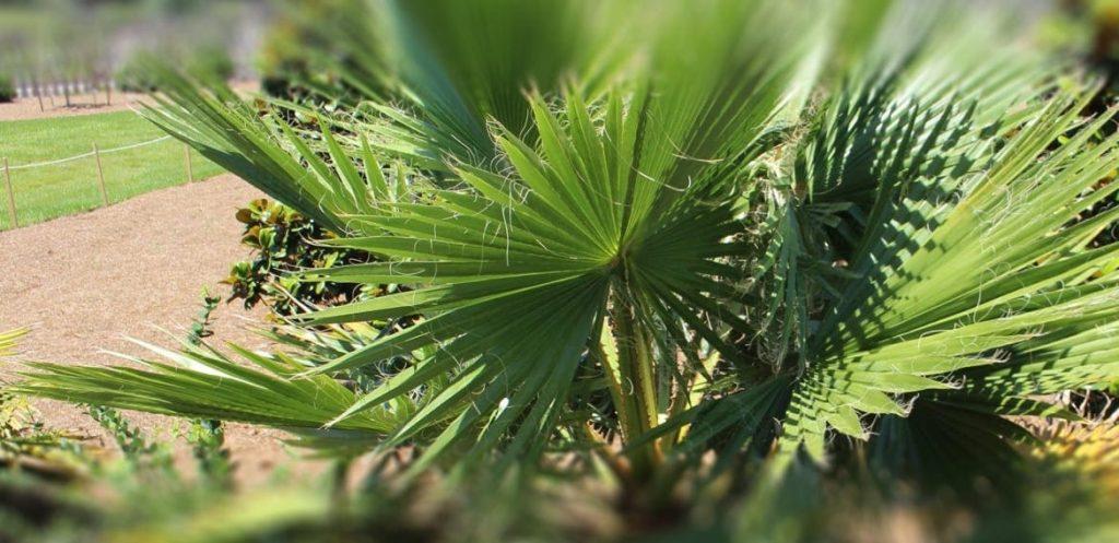 FAN PALM TREE (WASHINGTONIA ROBUSTA AND FILIFERA)